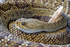Rattlesnake vaccines. Are they effective?